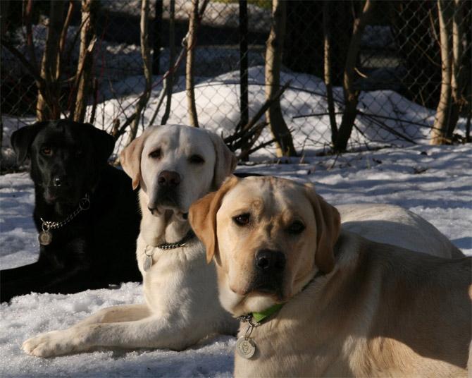 Perros Labrador Retrievers
