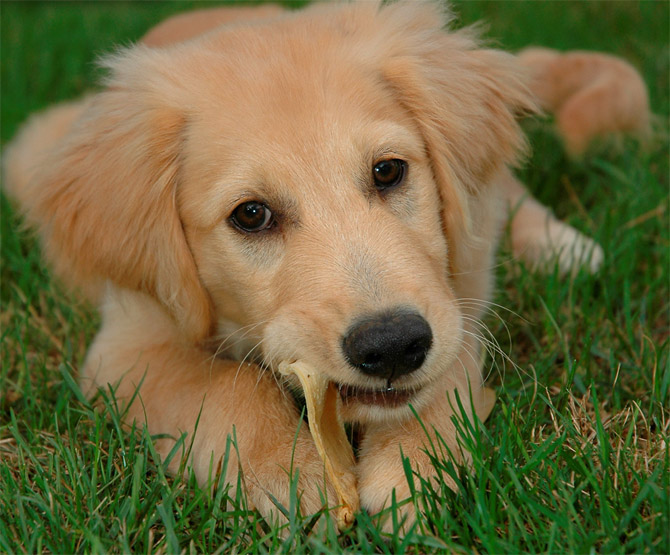 Perros Golden Retrievers