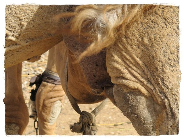 camel urine for cancer You may have recently discovered people like to drink camel wee after hearing about an outbreak of middle east respiratory syndrome coronavirus (mers) the deadly condition, which is caused by consuming the urine, has already killed seven people in south korea but you may be wondering why anyone.