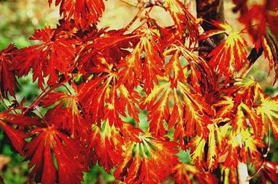 Renato photoblog l 39 autunno degli aceri for Aceri giapponesi