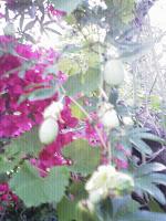 Fruto verde del Mburucuyá