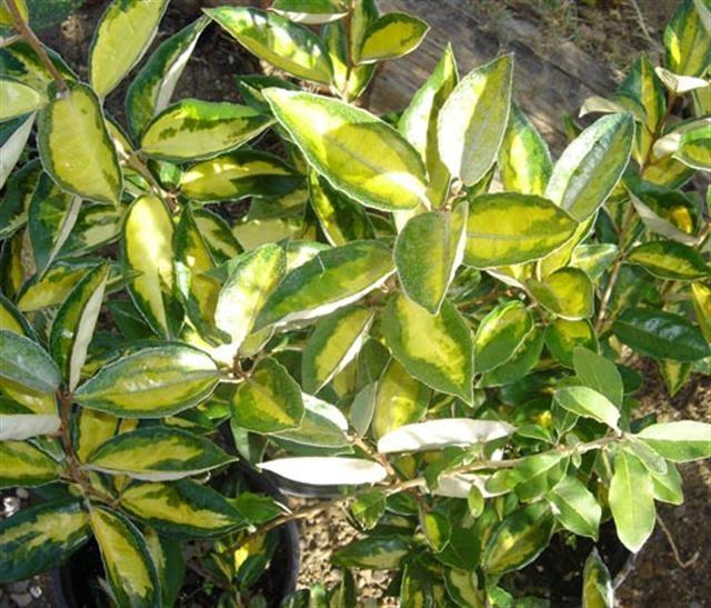 Garden center ejea plantas elaeagnus x ebbingei - Garden center ejea ...