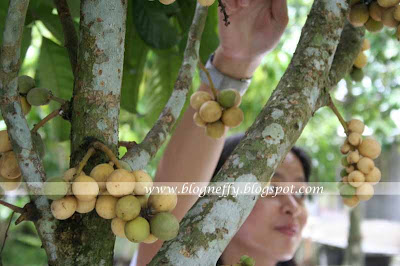 Davao City, Kidapawan City, langsat, Photography, seedless lanzones, travel and destinations, nikon d40x, philippines