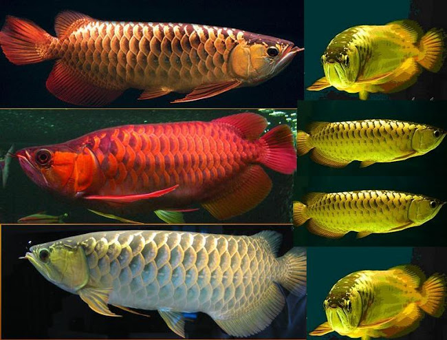 AROWANA  ELEGANCE - THE FISH OF RICHMAN