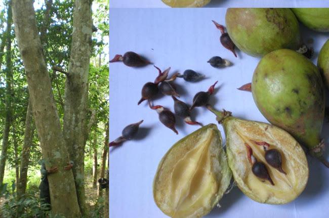 GAHARU- buahnya  - Aq Malacensis - Kelate