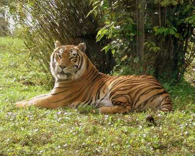 Tiger Habitat: Information Regarding the Bengal Tiger