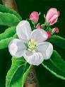 photos of flower buds of apple resmi.
