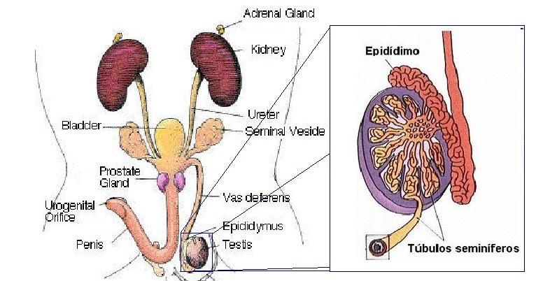 sistema urogenital de la rata | AnatoBioterio