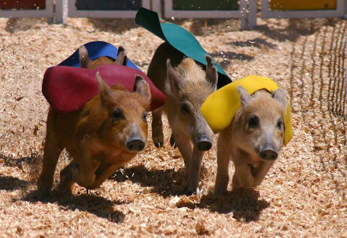 pig races a fair classic cook s racing pig racing