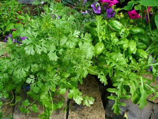 coriander and basil