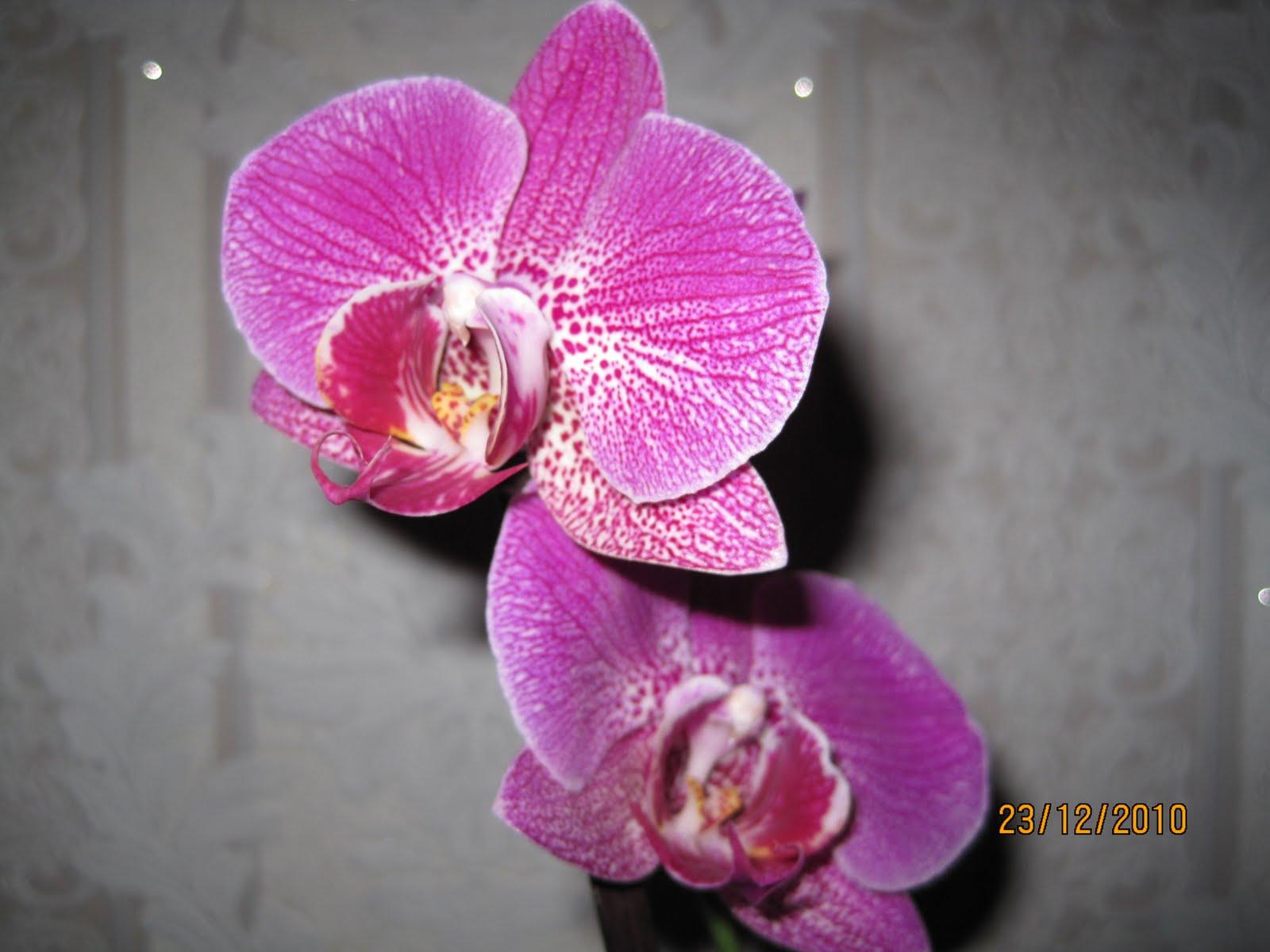 Все об орхидеях фаленопсис в домашних условиях с фото