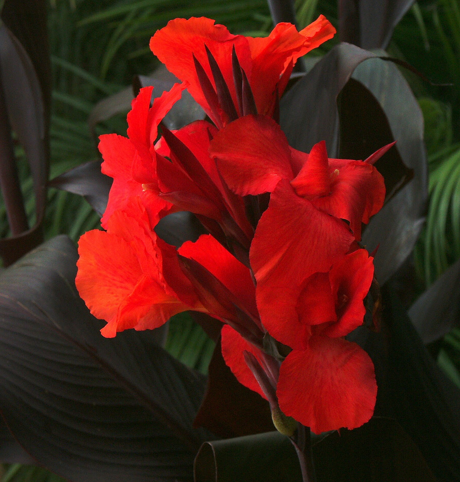My Blooming Garden Canna Flowers