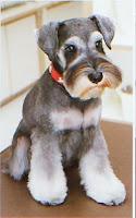 Miniature Schnauzer Haircut Styles