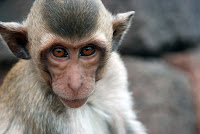 A wild monkey.  By Chris huh at Wikimedia Commons - released under Creative Commons Attribution-Share Alike 2.5 Generic Licence.