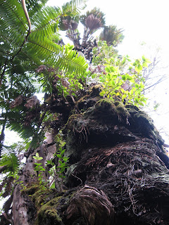 HAWAII GARDENING: Lichens, Mosses, and Fungi, Oh My! Ruffled Birds Nest Fern