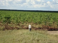 Afforestation Plantation in Vichada, Colombia