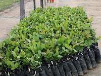 Cashew tree seedlings waiting to be planted