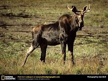 Maine State Animal: Moose