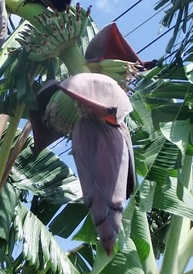 banana flower growing