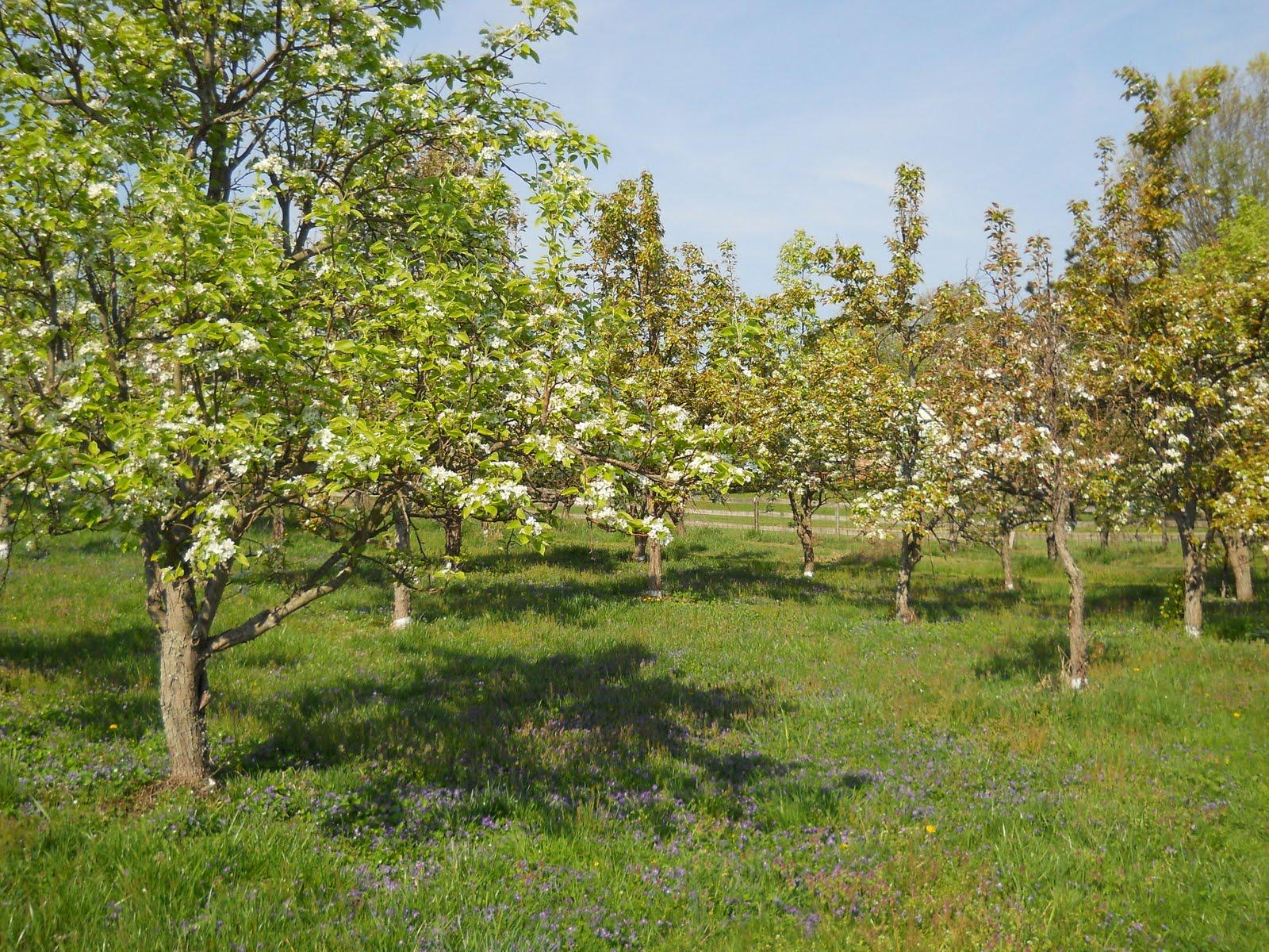 Backyard Apple Orchard Backyard Orchard Orchard In Bloom