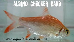 albino checker barb albino tiger barb arulius barb red black tiger ...