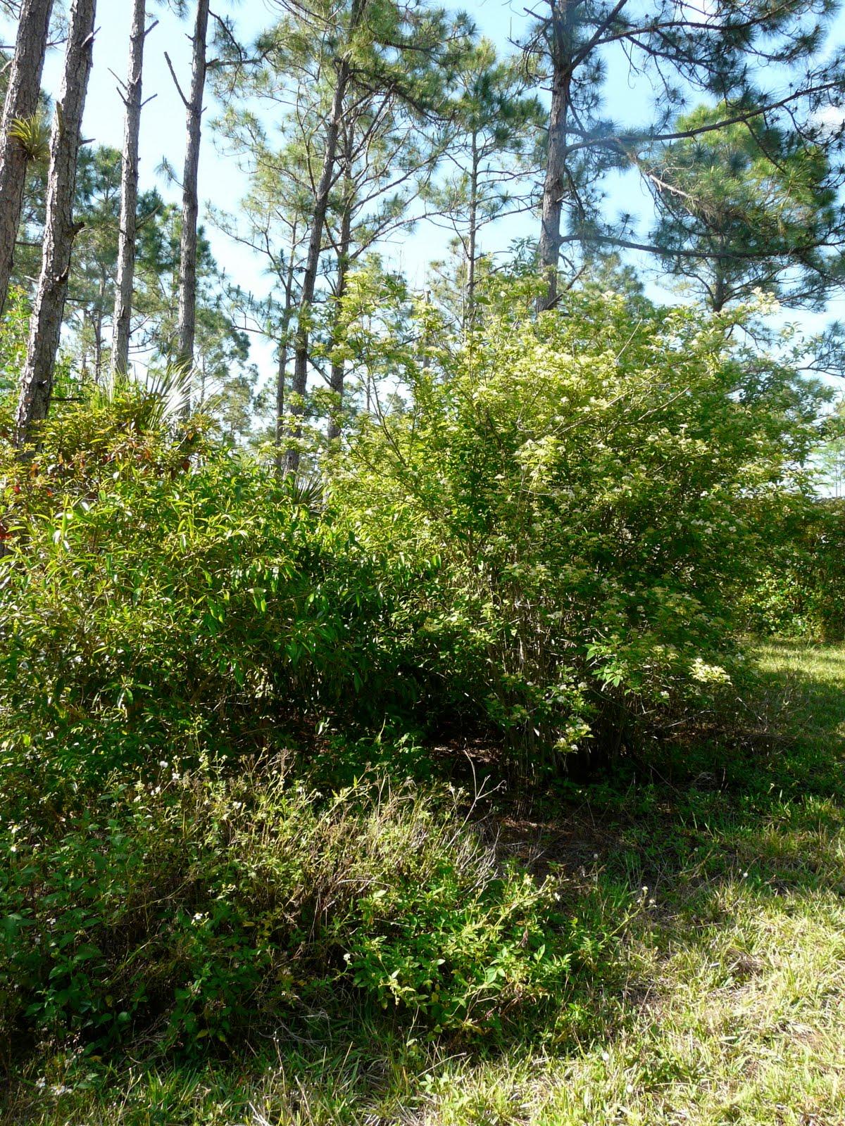 Swamp Dogwood   Clean Green Natives