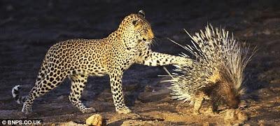 เม่น กับ เสือ ใครเก่งกว่ากัน