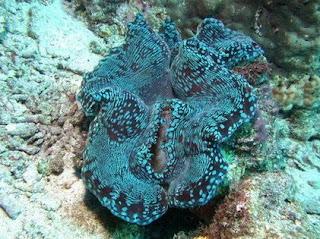 หอยมือเสือ