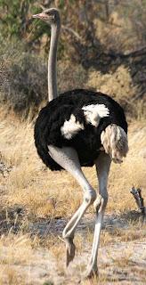 นกกระจอกเทศ นก ตัวใหญ่ที่สุดในโลก