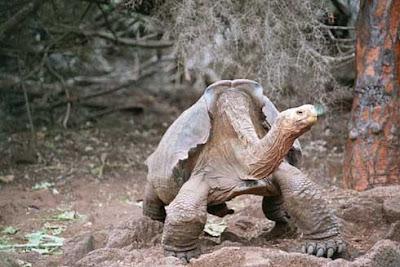 สัตว์ ที่ หายากที่สุดในโลก (Lonesome George)