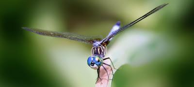 แมลง ที่ บินเร็วที่สุดในโลก