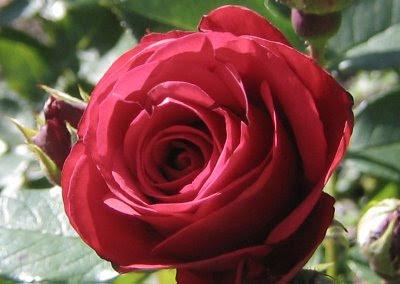 ภาพลวงตา ดอกกุหลาบ(Rose Illusions)