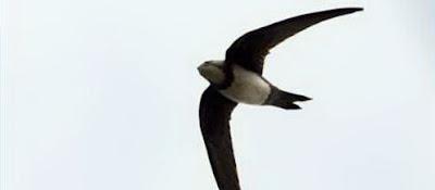 นก บินเร็วที่สุดในโลก