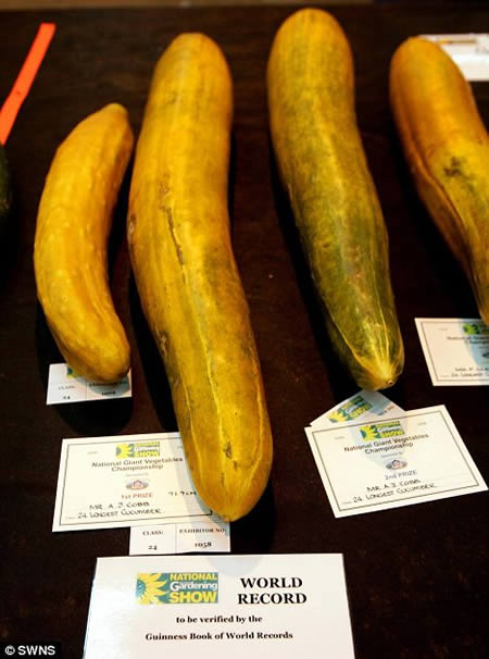 World's Longest Cucumber (36.1 in or 0.9 mts)