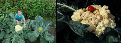 World's Largest Cauliflower (31.25 Lbs or 14.1 Kg)
