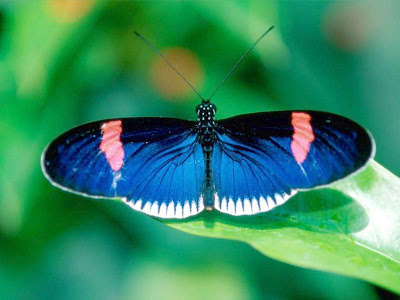 Butterflies Facts, More Butterflies Facts, Butterflies Fact Pictures, Butterflies Fact Photos, Facts about Butterflies