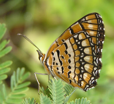 Butterflies Facts, More Butterflies Facts, Butterflies Fact Pictures, Butterflies Fact Photos, Facts about Butterflies, Butterfly Facts