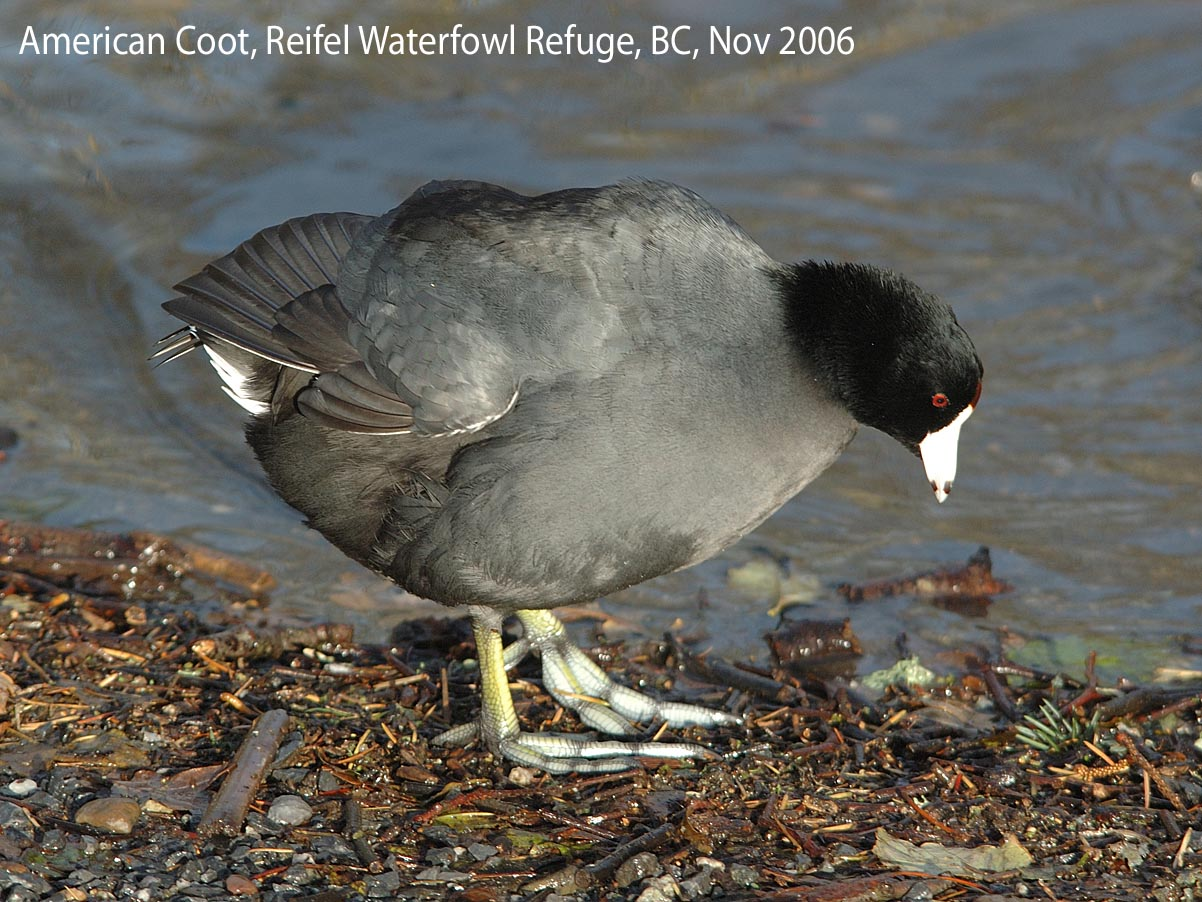 Northwest Nature Notes: A COOT IS NOT A DUCK!