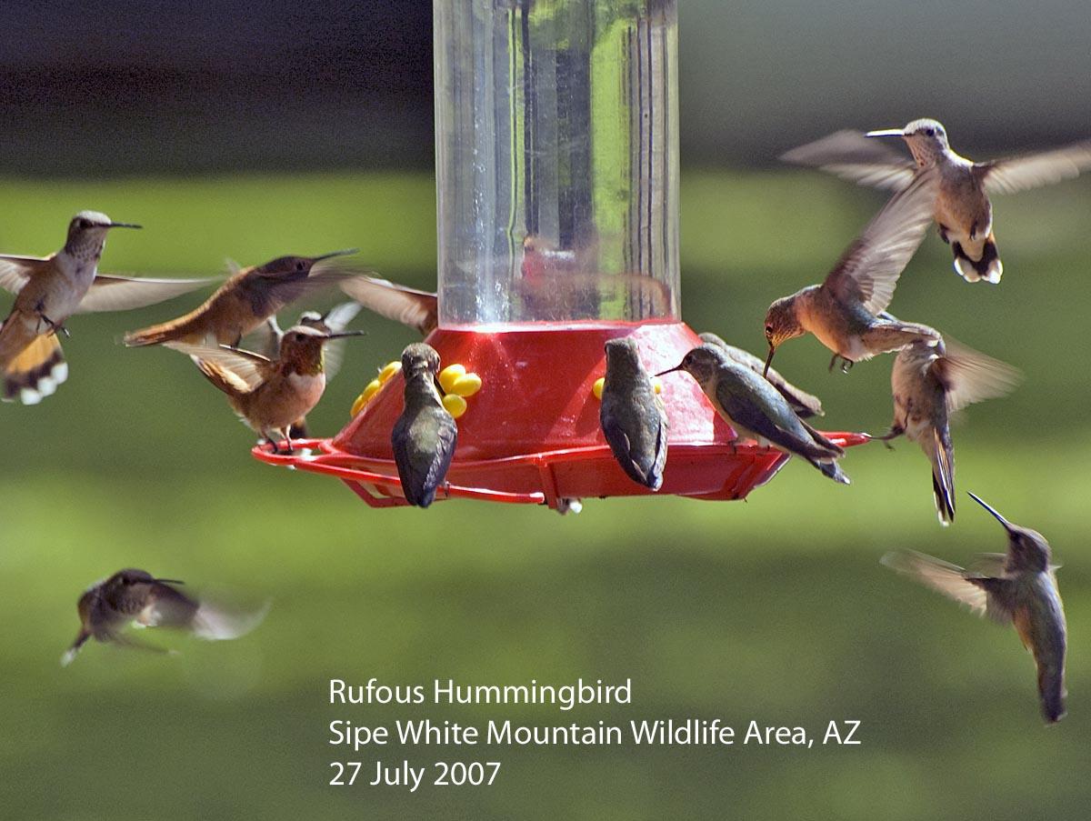 Chickadee Hummingbird Feeder Hummingbird Feeders Are