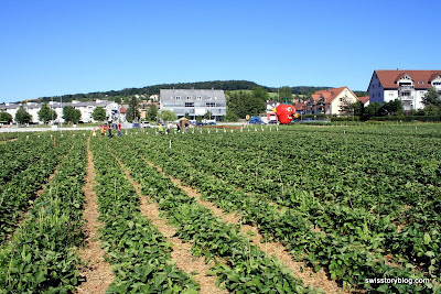 Pick Your Own Strawberries Urdorf Switzerland