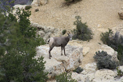 Grand Canyon Mountain Goat