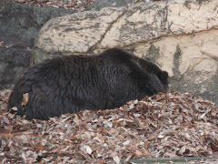 Hibernating Black Bear