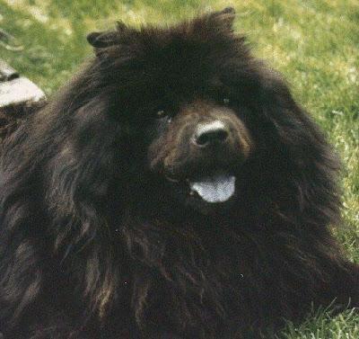 Big Black Chow Dog