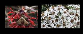 witch hazel and Olearia