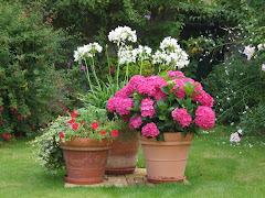 hortensia, agapanthe,pétunias