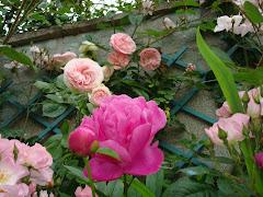 Roses Pierre de ronsard et pivoine Juillet 2009