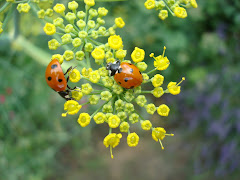 coccinelles