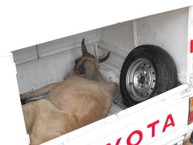 3 decembre - Que se passe t-il lorsque une vache est malade dans un marché ?