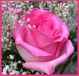 Pink Rose & Miracle