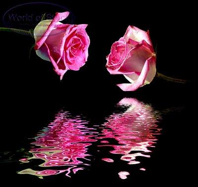 Pink Rose & HardWork